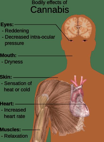 Bodily Effects of Marijuana